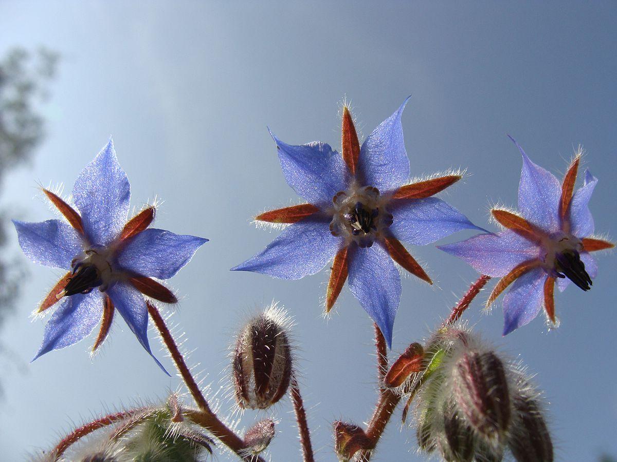 Borage starflower Rohtopurasruoho 01
